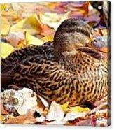 Autumn Mallard Acrylic Print