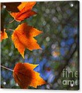 Autumn Maple Leaves In The Sun Acrylic Print