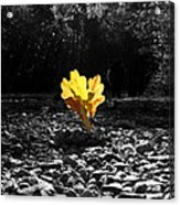 Autumn Oak Isolations Acrylic Print