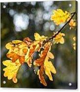 Autumn Oak Leaves Acrylic Print