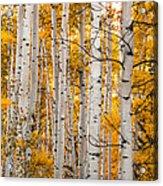 Autumn Quaking Aspen Acrylic Print