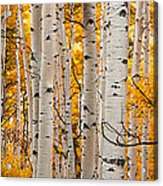 Autumn Quaking Aspen Panoramic Acrylic Print