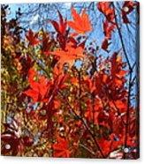 Autumn Reach  Acrylic Print