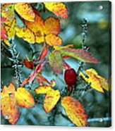 Autumn Rose Acrylic Print