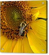 Autumn Sunflower Acrylic Print