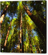 Autumn Sunlight Cast On Majestic Green Oregon Old Growth Forest  Acrylic Print
