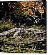 Autumn Swamp Acrylic Print