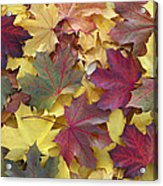 Autumn Sycamore Leaves Germany Acrylic Print