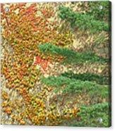 Autumn Vine And Evergreen Acrylic Print
