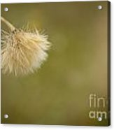 Autumnal Dandelion Fluff Acrylic Print