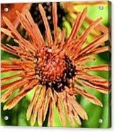 Autumn's Gerber Daisy Acrylic Print