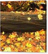 Autumn's Gold Acrylic Print
