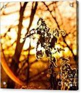Autumn's Golden Glow Acrylic Print