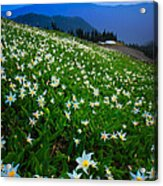 Avalanche Lily Field Acrylic Print