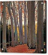 Avenue Of Plain Trees Acrylic Print