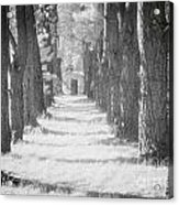 Avenue Of Trees New Zealand Acrylic Print