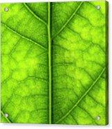 Avocado Leaf Acrylic Print