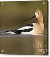 Avocet Looking Back Acrylic Print