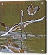 Avocets Chase Off The Egret Acrylic Print
