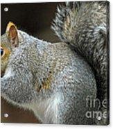 Aw Nuts Acrylic Print