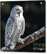 Awakened- Snowy Owl Laughing Acrylic Print by Inspired Nature Photography Fine Art Photography