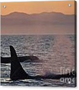Award Winning Photo Of Two Killer Whales At Sunset Dramatic Silhouette Acrylic Print