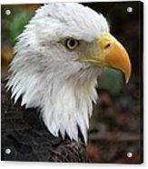 Awesome American Bald Eagle Acrylic Print
