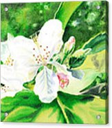 Awesome Apple Blossoms Acrylic Print