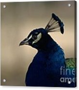 Awesome Peacock Acrylic Print