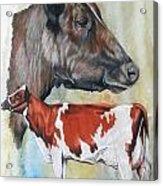 Ayrshire Cattle Acrylic Print