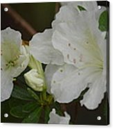 Azalea 14-4 Acrylic Print