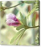 Azalea Bud 1 Acrylic Print