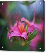 Azalea Color Mystere Acrylic Print