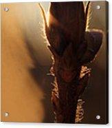 Azalea Flower Bud Sunrise - 1 Acrylic Print