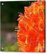 Azalea Profile Acrylic Print