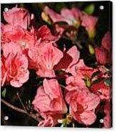 Azaleas In Oil Acrylic Print