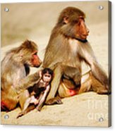 Baboon Family In The Desert Acrylic Print