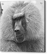 Baboon In Black And White Acrylic Print