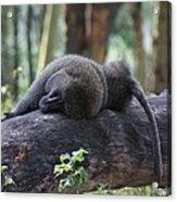 Baboon Sleeping Acrylic Print