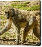 Baboon Acrylic Print