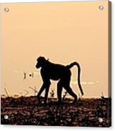 Baboon Sunset Acrylic Print