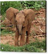 Baby Africa Elephant, Samburu National Acrylic Print