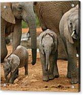 Baby African Elephants Acrylic Print