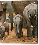 Baby African Elephants II Acrylic Print