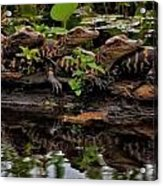 Baby Alligators Reflection Acrylic Print