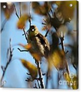 Baby American Goldfinch Learning To Fly Acrylic Print