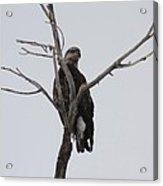 Baby Bald Eagle Acrylic Print