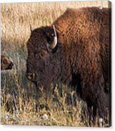 Baby Bison Meets Daddy Acrylic Print