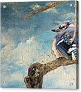 Baby Blue Jay In Winter Acrylic Print