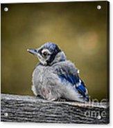 Baby Blue Jay Acrylic Print